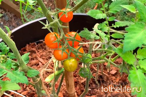 tomat-na-vetke